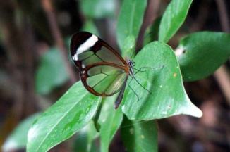 Costa Rica: Monteverde Schmetterling