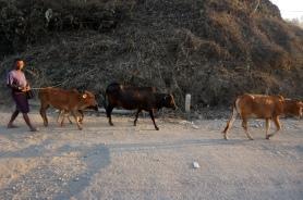 Myanmar Mrauk U Kühe