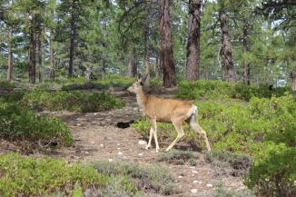 USA: Hirsch beim Campingplatz im Bryce Canyon