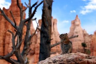 USA: Streifenhörnchen im Bryce Canyon