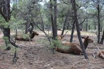 USA: Hirsche im Grand Canyon