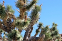 USA: Joshua Tree Baum