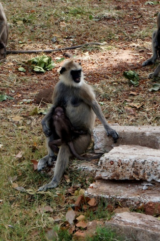 Sri Lanka Anuradhapura Affen