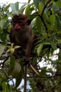 Sri Lanka Dambulla Affe im Baum