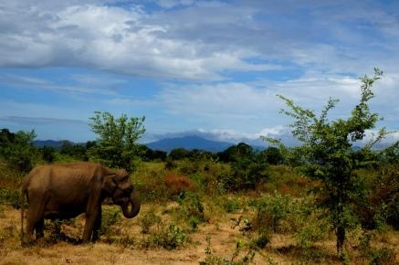 Sri Lanka Elefant im Uda Walawe Nationalpark