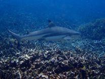 Sri Lanka kleiner Hai Schnorcheln