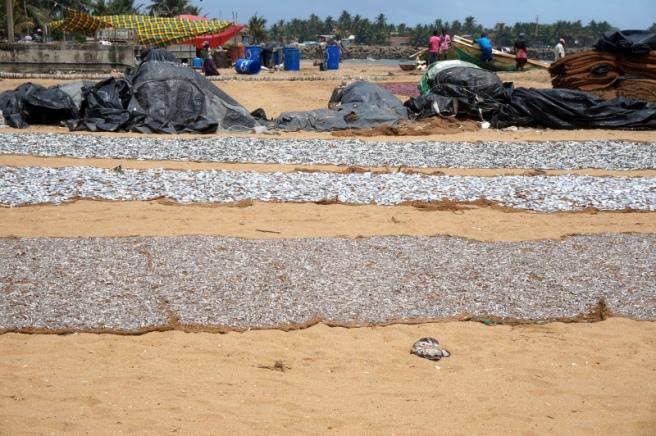Sri Lanka Negombo Fisch am Strand