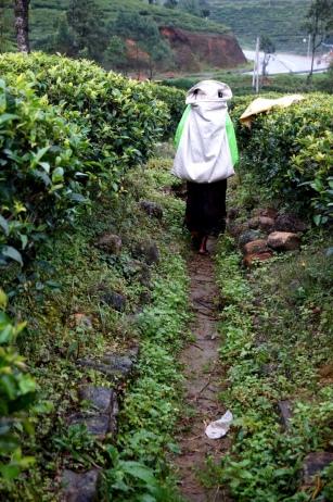 Sri Lanka Nuwara Eliya Teepflückerin