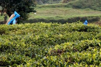 Sri Lanka Nuwara Eliya Teepflückerinnen
