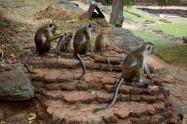 Sri Lanka Sigiriya Affen
