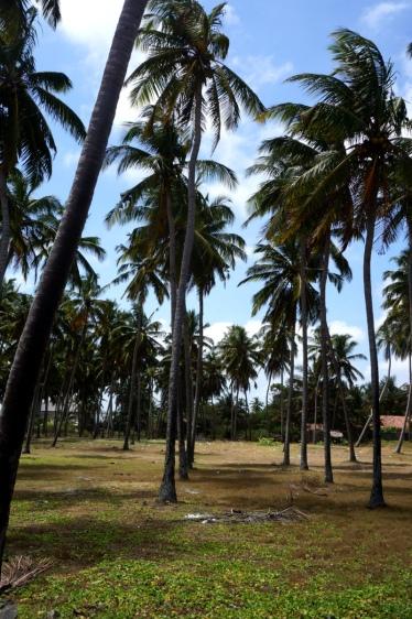 Sri Lanka Waikkal Palmen