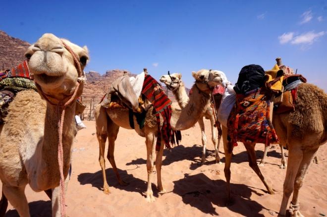 Vorbereitung der Kamele