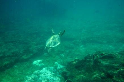 Daymaniyat Island Schildkröte