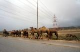 Kamele Salalah