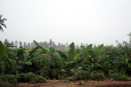 Salalalh Plantagen
